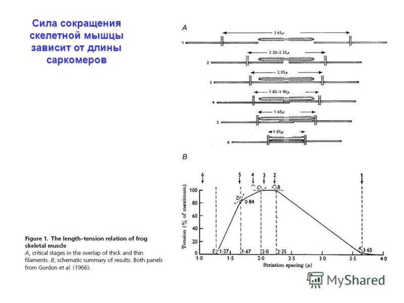 Сила сокращения скелетной мышцы зависит от длины саркомеров