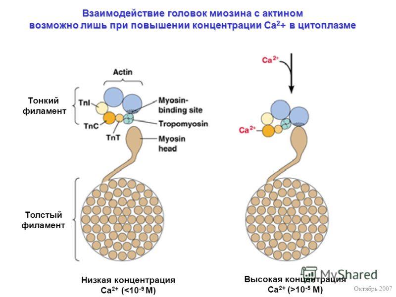 Октябрь 2007 Низкая концентрация Са 2+ (10 -5 M) Тонкий филамент Толстый филамент Взаимодействие головок миозина с актином возможно лишь при повышении концентрации Са 2 + в цитоплазме