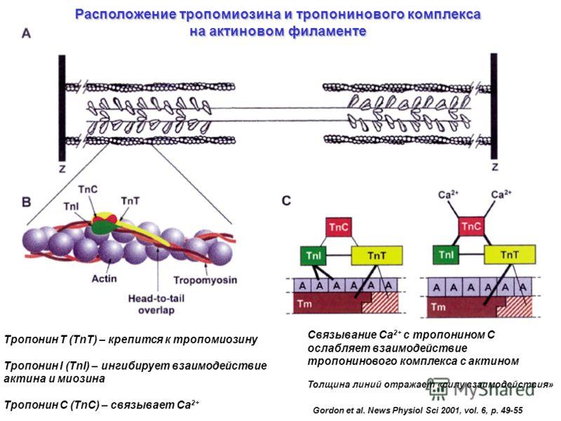Gordon et al. News Physiol Sci 2001, vol. 6, p. 49-55 Расположение тропомиозина и тропонинового комплекса на актиновом филаменте Связывание Са 2+ с тропонином С ослабляет взаимодействие тропонинового комплекса с актином Толщина линий отражает «силу в