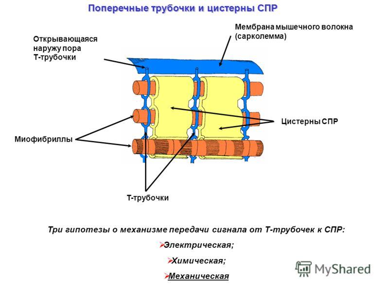 Открывающаяся наружу пора Т-трубочки Мембрана мышечного волокна (сарколемма) Миофибриллы T-трубочки Цистерны СПР Три гипотезы о механизме передачи сигнала от Т-трубочек к СПР: Электрическая; Химическая; Механическая Поперечные трубочки и цистерны СПР