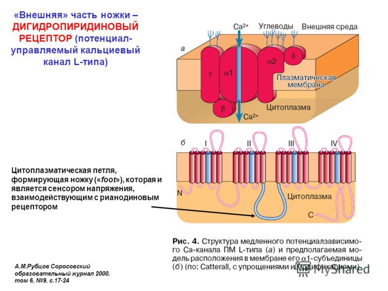 «Внешняя» часть ножки – ДИГИДРОПИРИДИНОВЫЙ РЕЦЕПТОР (потенциал- управляемый кальциевый канал L-типа) А.М.Рубцов Соросовский образовательный журнал 2000, том 6, 9, с.17-24 Цитоплазматическая петля, формирующая ножку («foot»), которая и является сенсор