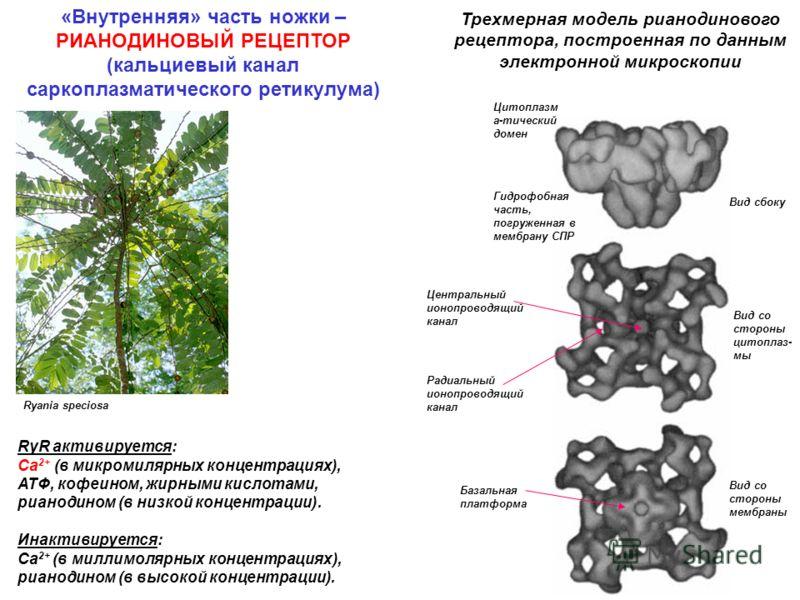Ryania speciosa Трехмерная модель рианодинового рецептора, построенная по данным электронной микроскопии Вид сбоку Вид со стороны цитоплаз- мы Вид со стороны мембраны Цитоплазм а-тический домен Гидрофобная часть, погруженная в мембрану СПР Центральны