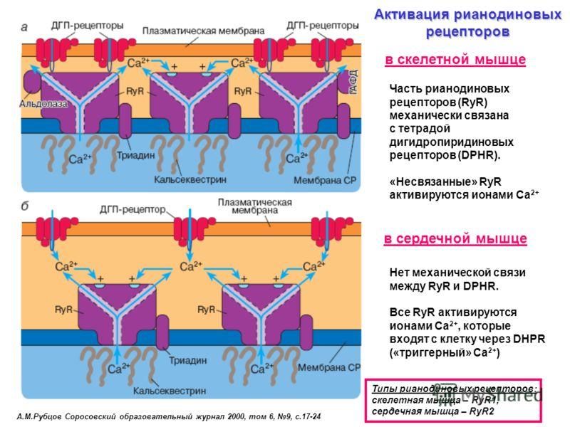 А.М.Рубцов Соросовский образовательный журнал 2000, том 6, 9, с.17-24 Активация рианодиновых рецепторов Типы рианодиновых рецепторов: cкелетная мышца – RyR1, сердечная мышца – RyR2 Часть рианодиновых рецепторов (RyR) механически связана с тетрадой ди