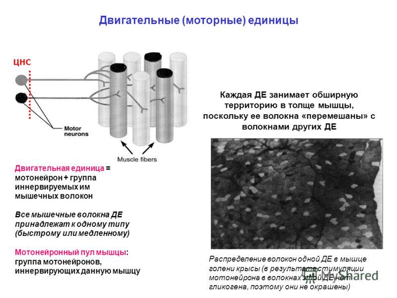 Двигательные (моторные) единицы ЦНС Двигательная единица = мотонейрон + группа иннервируемых им мышечных волокон Все мышечные волокна ДЕ принадлежат к одному типу (быстрому или медленному) Мотонейронный пул мышцы: группа мотонейронов, иннервирующих д