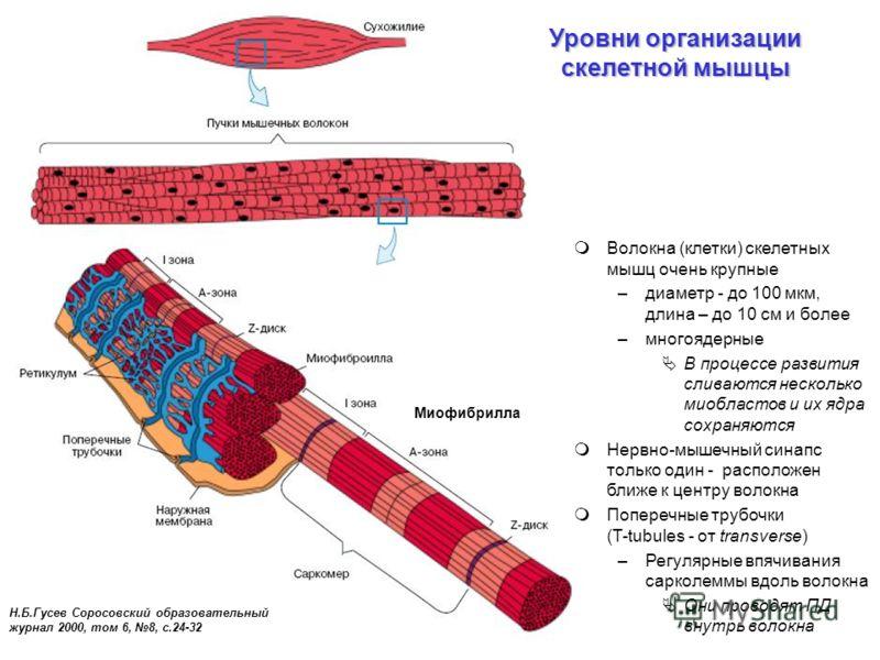 Уровни организации скелетной мышцы Н.Б.Гусев Соросовский образовательный журнал 2000, том 6, 8, с.24-32 Миофибрилла Волокна (клетки) скелетных мышц очень крупные –диаметр - до 100 мкм, длина – до 10 см и более –многоядерные В процессе развития сливаю