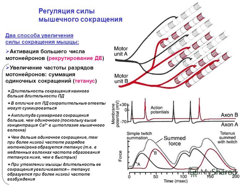 Два способа увеличения силы сокращения мышцы: Активация большего числа мотонейронов (рекрутирование ДЕ) Увеличение частоты разрядов мотонейронов: суммация одиночных сокращений (тетанус) Регуляция силы мышечного сокращения Длительность сокращения намн