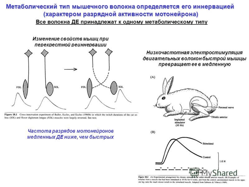 Метаболический тип мышечного волокна определяется его иннервацией (характером разрядной активности мотонейрона) Изменение свойств мышц при перекрестной реиннервации Низкочастотная электростимуляция двигательных волокон быстрой мышцы превращает ее в м