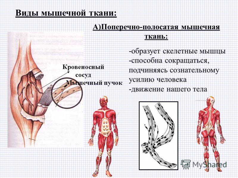 Виды мышечной ткани: Кровеносный сосуд Мышечный пучок А)Поперечно-полосатая мышечная ткань: -образует скелетные мышцы -способна сокращаться, подчиняясь сознательному усилию человека -движение нашего тела