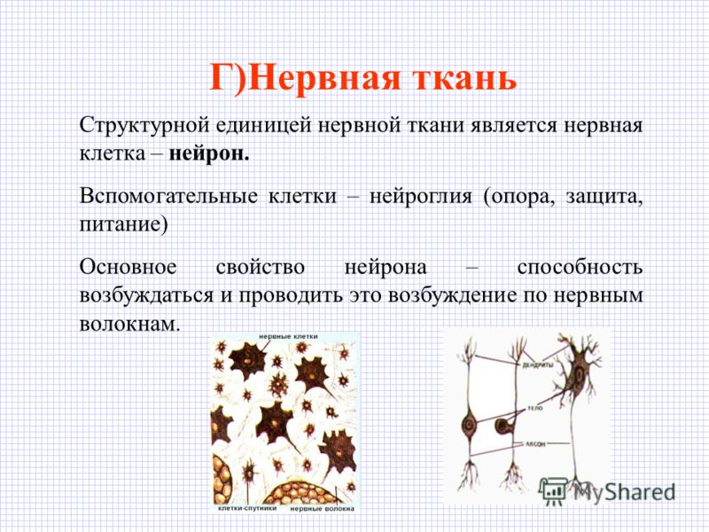 Г)Нервная ткань Структурной единицей нервной ткани является нервная клетка – нейрон. Вспомогательные клетки – нейроглия (опора, защита, питание) Основное свойство нейрона – способность возбуждаться и проводить это возбуждение по нервным волокнам.