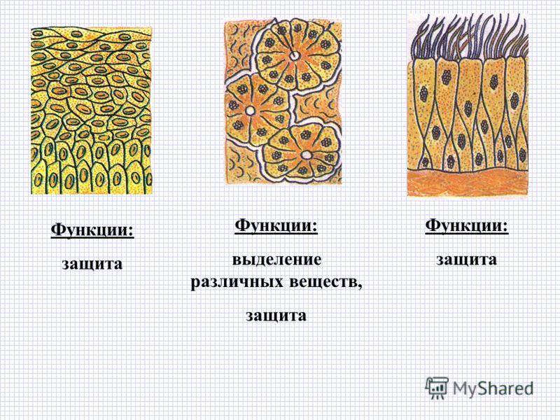 Функции: защита Функции: выделение различных веществ, защита Функции: защита