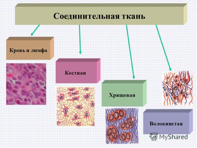 Ткань Соединительная фото