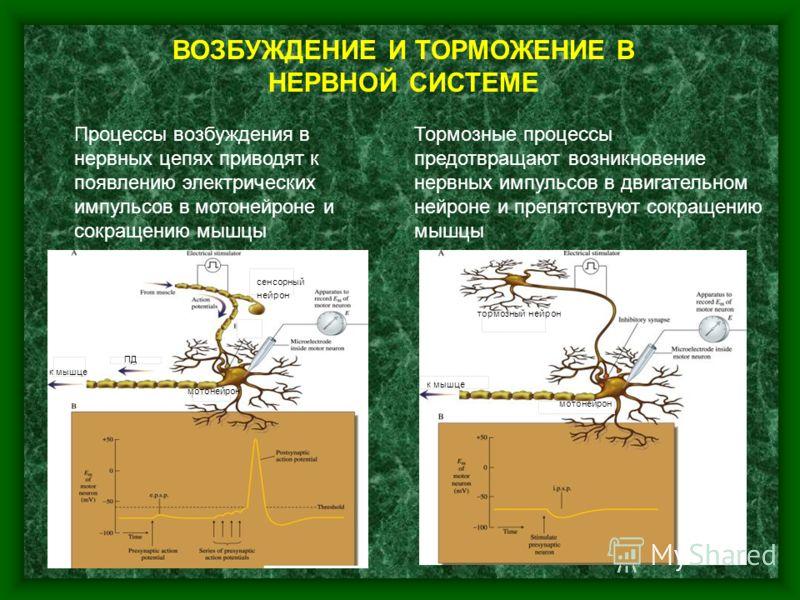 6 ВОЗБУЖДЕНИЕ И ТОРМОЖЕНИЕ В НЕРВНОЙ СИСТЕМЕ Процессы возбуждения в нервных цепях приводят к появлению электрических импульсов в мотонейроне и сокращению мышцы Тормозные процессы предотвращают возникновение нервных импульсов в двигательном нейроне и