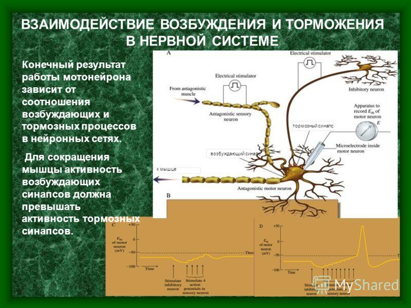 7 возбуждающий синапс тормозный синапс ВЗАИМОДЕЙСТВИЕ ВОЗБУЖДЕНИЯ И ТОРМОЖЕНИЯ В НЕРВНОЙ СИСТЕМЕ Конечный результат работы мотонейрона зависит от соотношения возбуждающих и тормозных процессов в нейронных сетях. Для сокращения мышцы активность возбуж