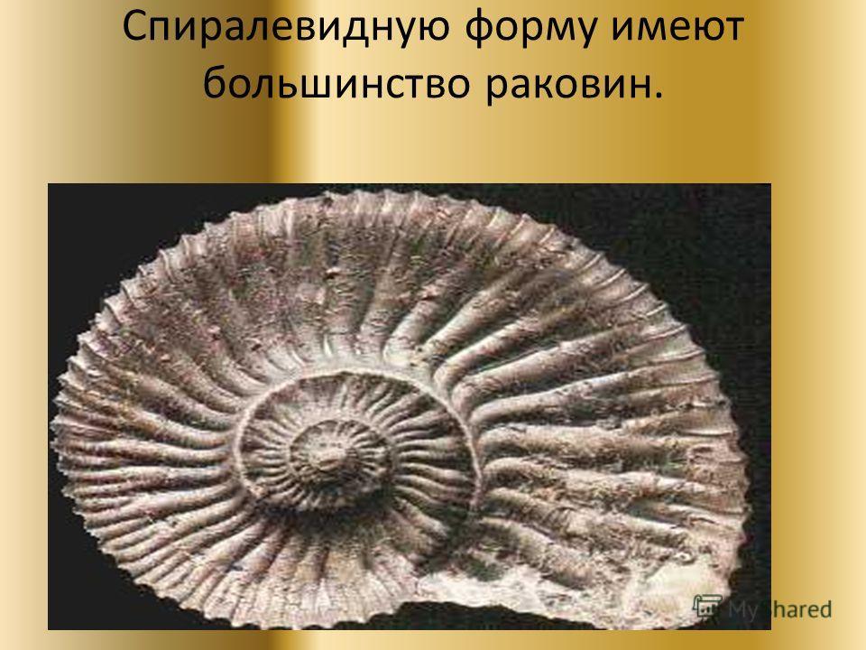Спиралевидную форму имеют большинство раковин.
