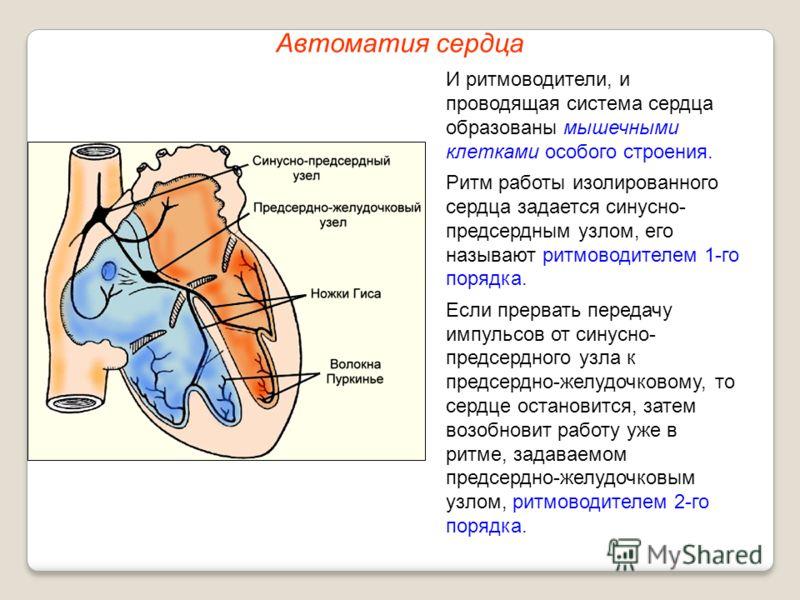 Автоматия сердца И ритмоводители, и проводящая система сердца образованы мышечными клетками особого строения. Ритм работы изолированного сердца задается синусно- предсердным узлом, его называют ритмоводителем 1-го порядка. Если прервать передачу импу