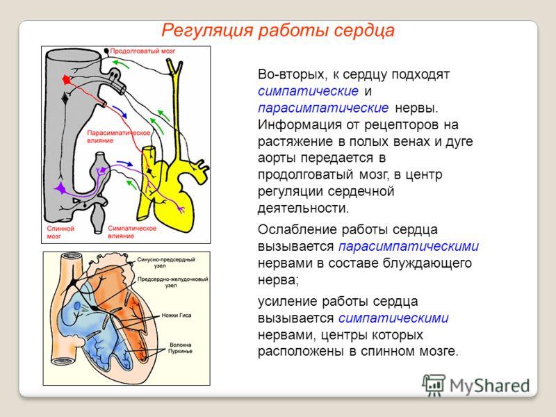 Регуляция работы сердца Во-вторых, к сердцу подходят симпатические и парасимпатические нервы. Информация от рецепторов на растяжение в полых венах и дуге аорты передается в продолговатый мозг, в центр регуляции сердечной деятельности. Ослабление рабо