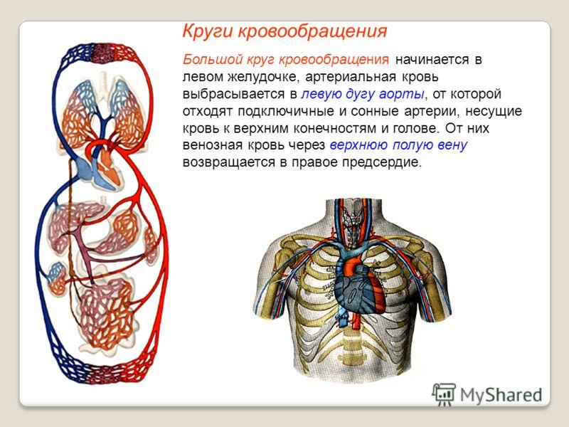 Круги кровообращения Большой круг кровообращения начинается в левом желудочке, артериальная кровь выбрасывается в левую дугу аорты, от которой отходят подключичные и сонные артерии, несущие кровь к верхним конечностям и голове. От них венозная кровь