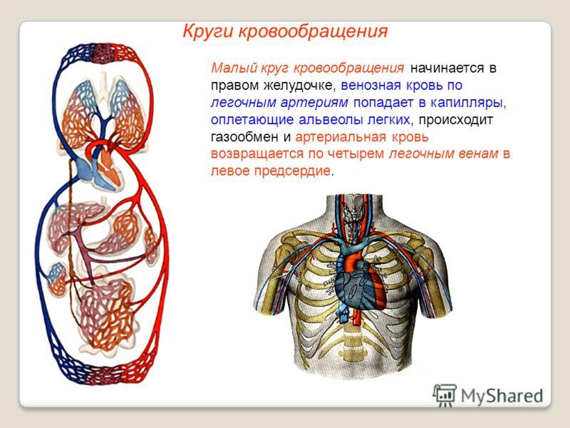 Круги кровообращения Малый круг кровообращения начинается в правом желудочке, венозная кровь по легочным артериям попадает в капилляры, оплетающие альвеолы легких, происходит газообмен и артериальная кровь возвращается по четырем легочным венам в лев