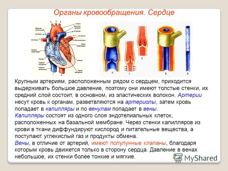 Органы кровообращения. Сердце Крупным артериям, расположенным рядом с сердцем, приходится выдерживать большое давление, поэтому они имеют толстые стенки, их средний слой состоит, в основном, из эластических волокон. Артерии несут кровь к органам, раз