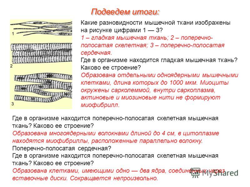 Какие разновидности мышечной ткани изображены на рисунке цифрами 1 3? 1 – гладкая мышечная ткань; 2 – поперечно- полосатая скелетная; 3 – поперечно-полосатая сердечная. Где в организме находится гладкая мышечная ткань? Каково ее строение? Образована