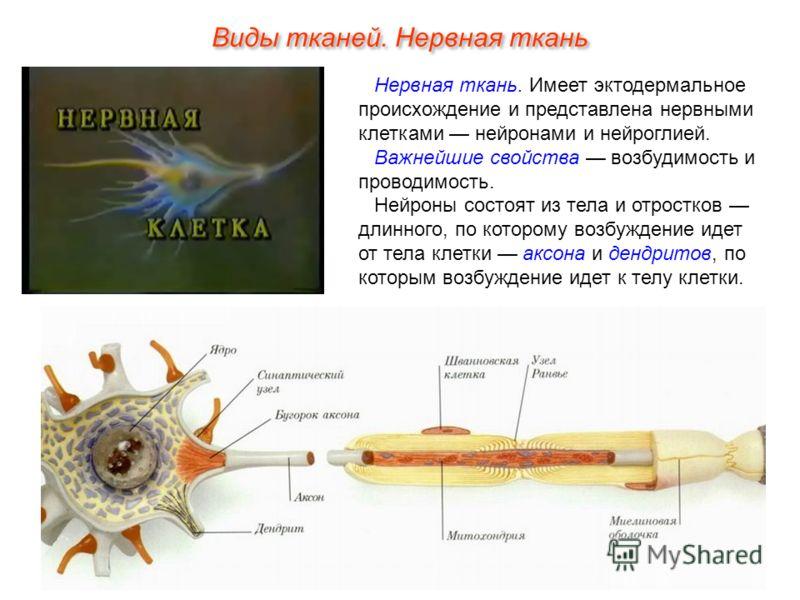 Виды тканей. Нервная ткань Нервная ткань. Имеет эктодермальное происхождение и представлена нервными клетками нейронами и нейроглией. Важнейшие свойства возбудимость и проводимость. Нейроны состоят из тела и отростков длинного, по которому возбуждени