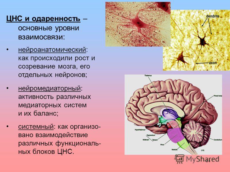 14 ЦНС и одаренность – основные уровни взаимосвязи: нейроанатомический: как происходили рост и созревание мозга, его отдельных нейронов; нейромедиаторный: активность различных медиаторных систем и их баланс; системный: как организо- вано взаимодейств