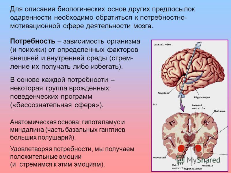 22 Для описания биологических основ других предпосылок одаренности необходимо обратиться к потребностно- мотивационной сфере деятельности мозга. Анатомическая основа: гипоталамус и миндалина (часть базальных ганглиев больших полушарий). Удовлетворяя
