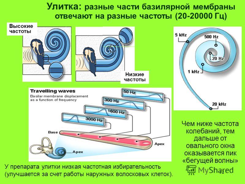 12 Улитка: разные части базилярной мембраны отвечают на разные частоты (20-20000 Гц) Высокие частоты Низкие частоты У препарата улитки низкая частотная избирательность (улучшается за счет работы наружных волосковых клеток). Чем ниже частота колебаний