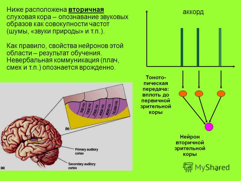 27 Ниже расположена вторичная слуховая кора – опознавание звуковых образов как совокупности частот (шумы, «звуки природы» и т.п.). Как правило, свойства нейронов этой области – результат обучения. Невербальная коммуникация (плач, смех и т.п.) опознае