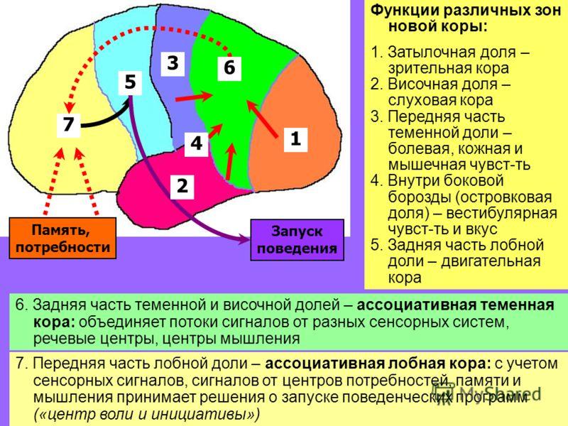 33 Функции различных зон новой коры: 1. Затылочная доля – зрительная кора 2. Височная доля – слуховая кора 3. Передняя часть теменной доли – болевая, кожная и мышечная чувст-ть 4. Внутри боковой борозды (островковая доля) – вестибуляр-ная чувст-ть и