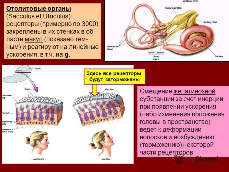 12 Oтолитовые органы (Sacculus et Utriculus): рецепторы (примерно по 3000) закреплены в их стенках в об- ласти макул (показано тем- ным) и реагируют на линейные ускорения, в т.ч. на g. Смещение желатинозной субстанции за счет инерции при появлении ус