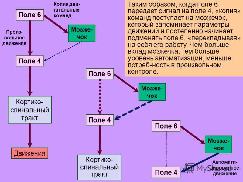24 Таким образом, когда поле 6 передает сигнал на поле 4, «копия» команд поступает на мозжечок, который запоминает параметры движений и постепенно начинает подменять поле 6, «перекладывая» на себя его работу. Чем больше вклад мозжечка, тем больше уро