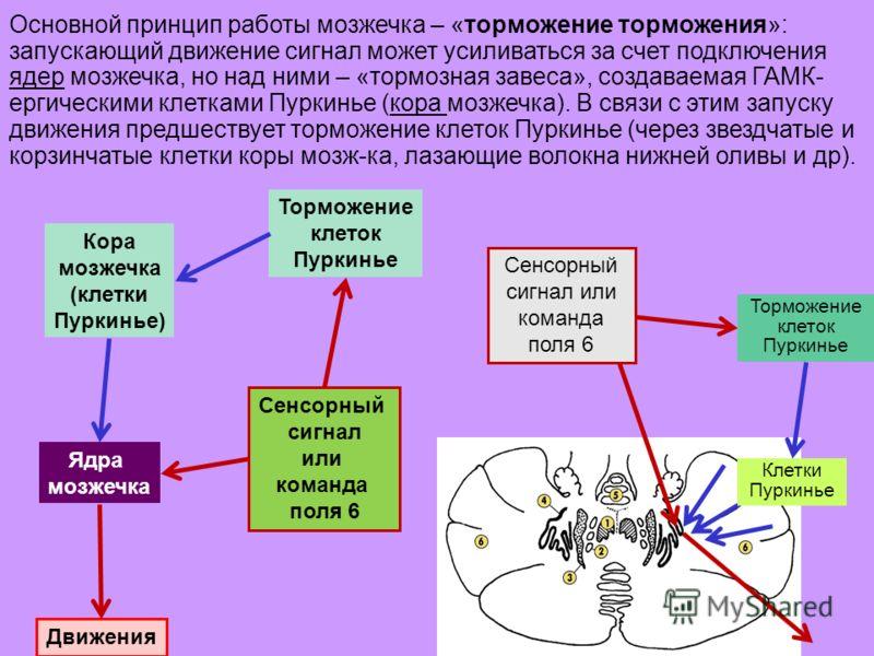 26 Клетки Пуркинье Торможение клеток Пуркинье Сенсорный сигнал или команда поля 6 Кора мозжечка (клетки Пуркинье) Торможение клеток Пуркинье Ядра мозжечка Движения Сенсорный сигнал или команда поля 6 Основной принцип работы мозжечка – «торможение тор