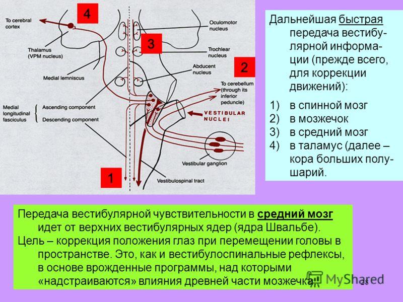 28 Дальнейшая быстрая передача вестибу- лярной информа- ции (прежде всего, для коррекции движений): 1)в спинной мозг 2)в мозжечок 3)в средний мозг 4)в таламус (далее – кора больших полу- шарий. Передача вестибулярной чувствительности в средний мозг и