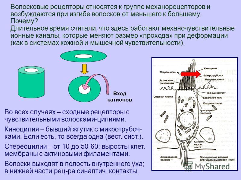 5 Во всех случаях – сходные рецепторы с чувствительными волосками-цилиями. Киноцилия – бывший жгутик с микротрубоч- ками. Если есть, то всегда одна (вест. сист.). Стереоцилии – от 10 до 50-60; выросты клет. мембраны с актиновыми филаментами. Волоски