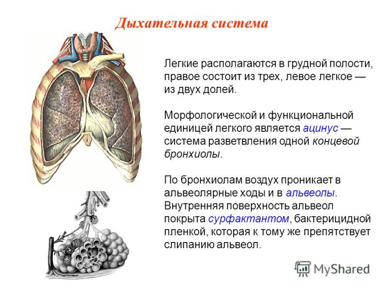 Легкие располагаются в грудной полости, правое состоит из трех, левое легкое из двух долей. Морфологической и функциональной единицей легкого является ацинус система разветвления одной концевой бронхиолы. По бронхиолам воздух проникает в альвеолярные