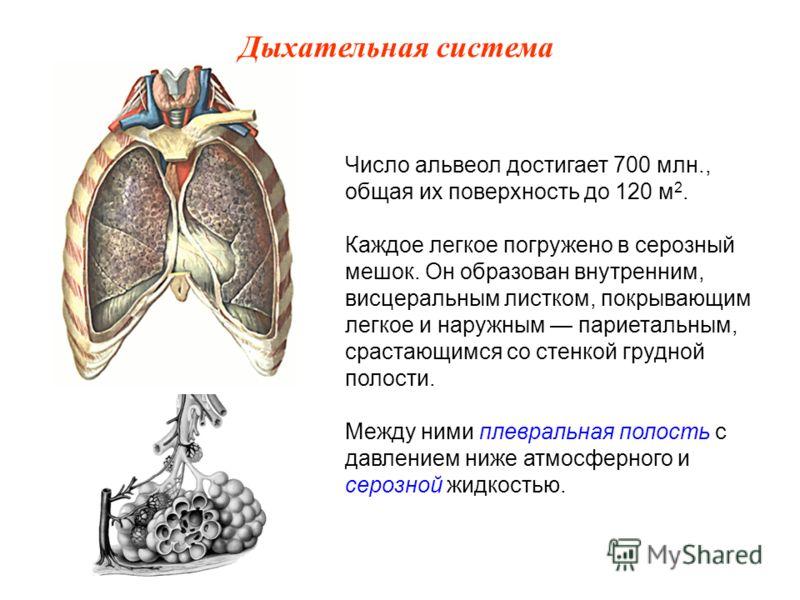 Число альвеол достигает 700 млн., общая их поверхность до 120 м 2. Каждое легкое погружено в серозный мешок. Он образован внутренним, висцеральным листком, покрывающим легкое и наружным париетальным, срастающимся со стенкой грудной полости. Между ним