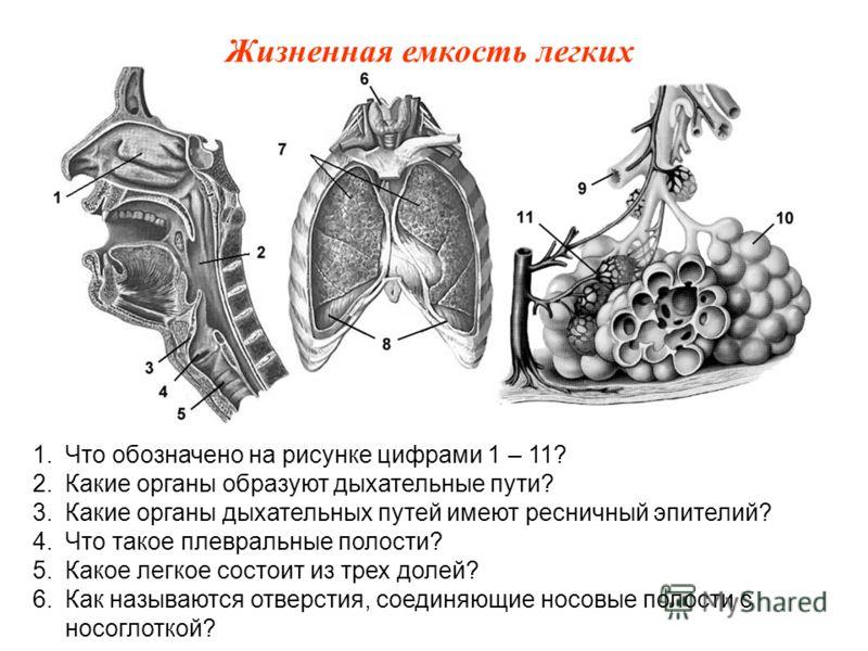 1.Что обозначено на рисунке цифрами 1 – 11? 2.Какие органы образуют дыхательные пути? 3.Какие органы дыхательных путей имеют ресничный эпителий? 4.Что такое плевральные полости? 5.Какое легкое состоит из трех долей? 6.Как называются отверстия, соедин