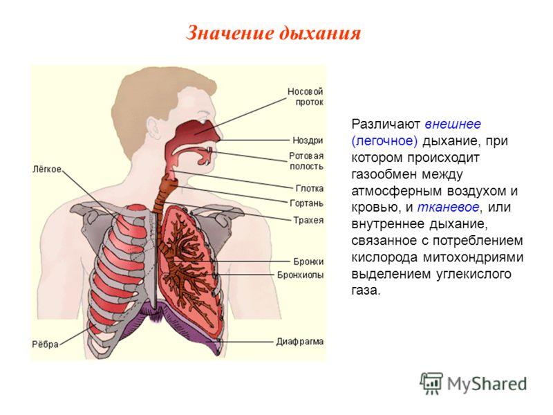 Различают внешнее (легочное) дыхание, при котором происходит газообмен между атмосферным воздухом и кровью, и тканевое, или внутреннее дыхание, связанное с потреблением кислорода митохондриями выделением углекислого газа. Значение дыхания