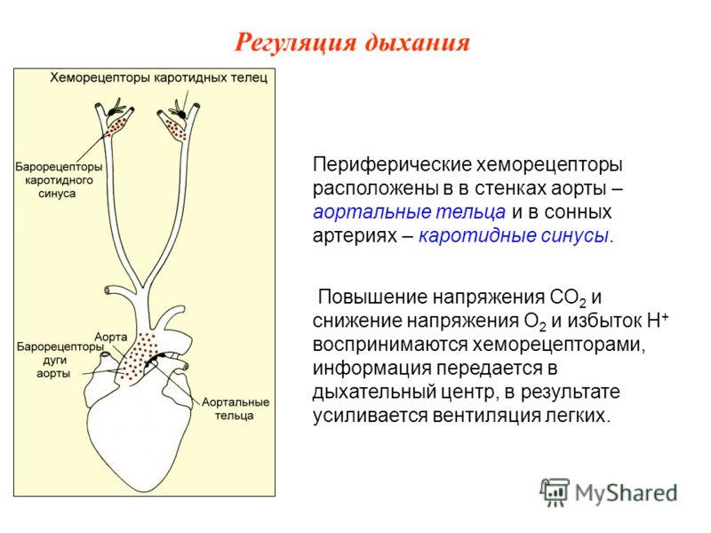 Периферические хеморецепторы расположены в в стенках аорты – аортальные тельца и в сонных артериях – каротидные синусы. Повышение напряжения СО 2 и снижение напряжения О 2 и избыток Н + воспринимаются хеморецепторами, информация передается в дыхатель