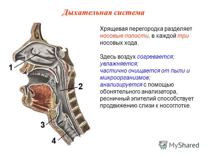 Хрящевая перегородка разделяет носовые полости, в каждой три носовых хода. Здесь воздух согревается; увлажняется; частично очищается от пыли и микроорганизмов; анализируется с помощью обонятельного анализатора, ресничный эпителий способствует продвиж
