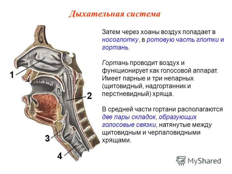 Затем через хоаны воздух попадает в носоглотку, в ротовую часть глотки и гортань. Гортань проводит воздух и функционирует как голосовой аппарат. Имеет парные и три непарных (щитовидный, надгортанник и перстневидный) хряща. В средней части гортани рас