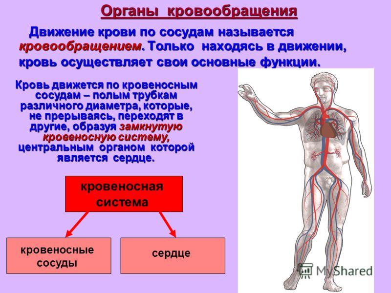 Органы кровообращения Движение крови по сосудам называется кровообращением. Только находясь в движении, кровь осуществляет свои основные функции. Кровь движется по кровеносным сосудам – полым трубкам различного диаметра, которые, не прерываясь, перех