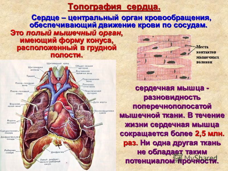 Топография сердца. Сердце – центральный орган кровообращения, обеспечивающий движение крови по сосудам. Сердце – центральный орган кровообращения, обеспечивающий движение крови по сосудам. Это полый мышечный орган, имеющий форму конуса, расположенный