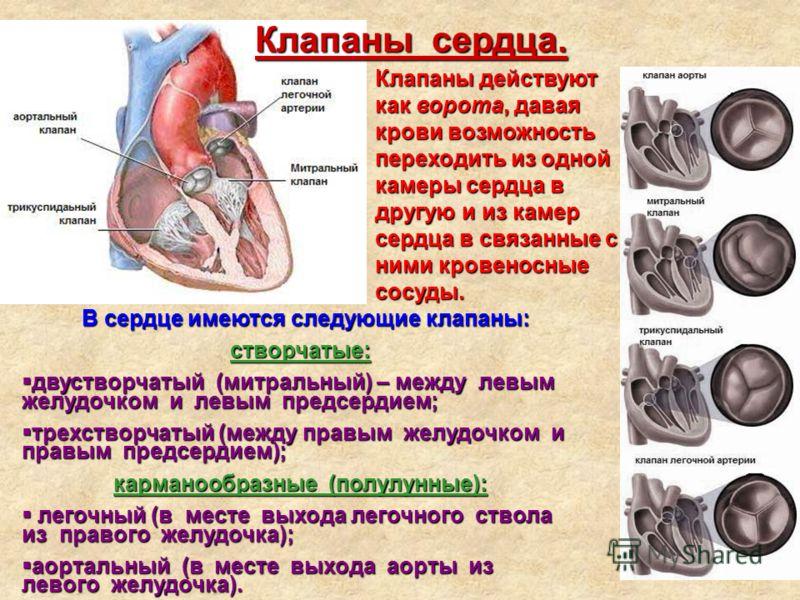 Клапаны сердца. Клапаны действуют как ворота, давая крови возможность переходить из одной камеры сердца в другую и из камер сердца в связанные с ними кровеносные сосуды. В сердце имеются следующие клапаны: створчатые: двустворчатый (митральный) – меж