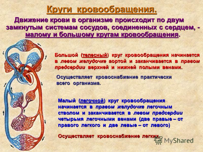 Круги кровообращения. Движение крови в организме происходит по двум замкнутым системам сосудов, соединенных с сердцем, - малому и большому кругам кровообращения. Большой (телесный) круг кровообращения начинается в левом желудочке аортой и заканчивает