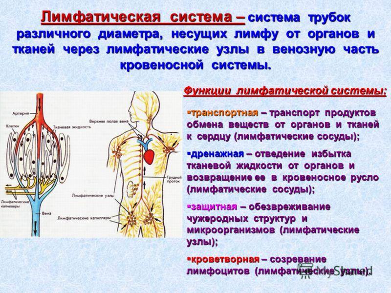 Лимфатическая система – система трубок различного диаметра, несущих лимфу от органов и тканей через лимфатические узлы в венозную часть кровеносной системы. Функции лимфатической системы: транспортная – транспорт продуктов обмена веществ от органов и