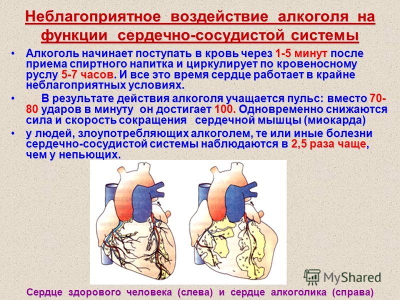 Неблагоприятное воздействие алкоголя на функции сердечно-сосудистой системы Алкоголь начинает поступать в кровь через 1-5 минут после приема спиртного напитка и циркулирует по кровеносному руслу 5-7 часов. И все это время сердце работает в крайне неб