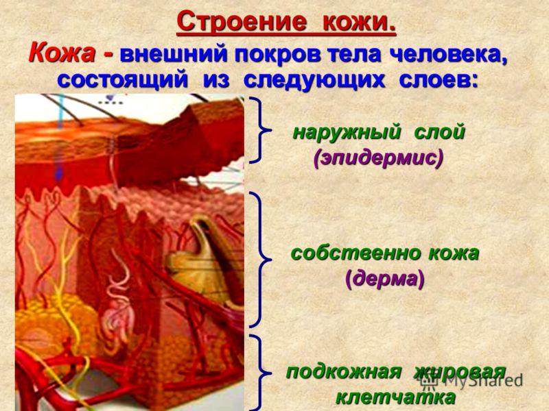 наружный слой (эпидермис) собственно кожа (дерма) подкожная жировая клетчатка Кожа - внешний покров тела человека, состоящий из следующих слоев: Строение кожи.