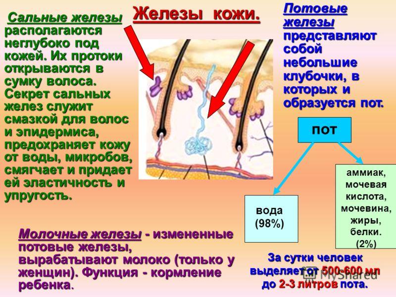 Потовые железы представляют собой небольшие клубочки, в которых и образуется пот. За сутки человек выделяет от 500-600 мл до 2-3 литров пота. пот вода (98%) аммиак, мочевая кислота, мочевина, жиры, белки. (2%) Молочные железы - измененные потовые жел